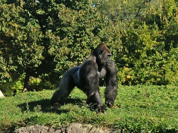Safari fotografico gorilla e scimpanzè in Uganda AFRICA