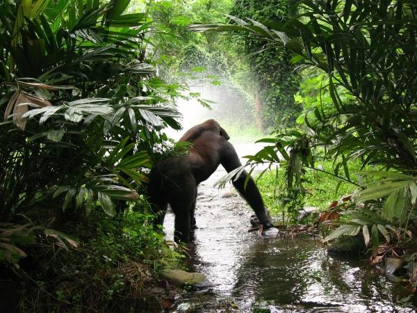 Tour Safari fotografico gorilla e scimpanzè in Uganda AFRICA