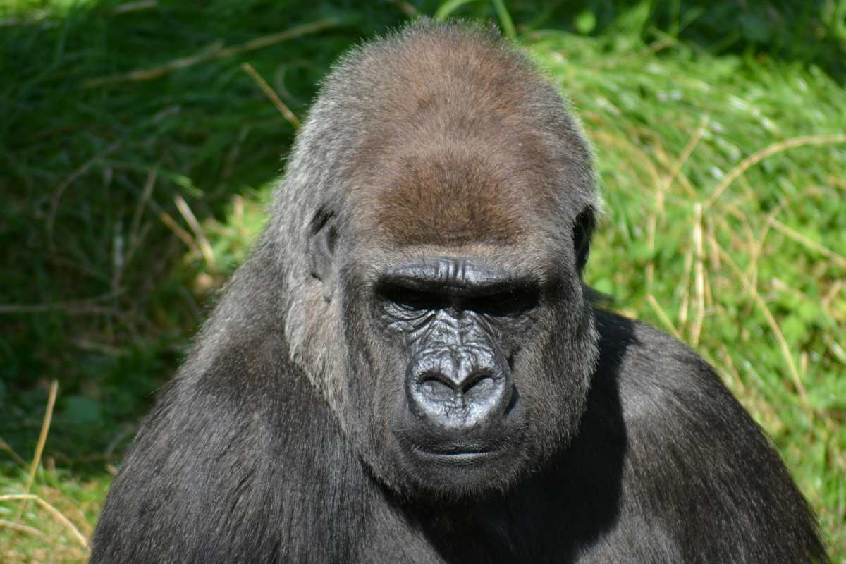 Safari fotografico dei Primati - Gorilla Scimpanzè e Precius Golden